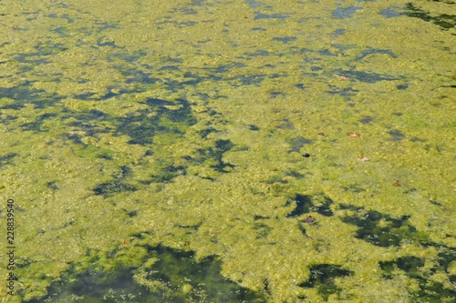 Vászonkép Closeup photograph of an algal bloom in a body of freshwater suffering from seve