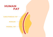 Human Belly And Abdomen Fat La...