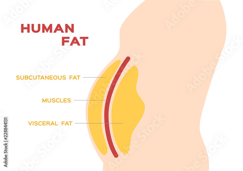 Photo human belly and abdomen fat layer vector / subcutaneous and visceral fat
