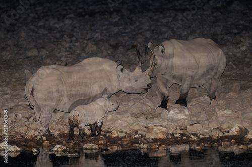 Black rhino family at night, etosha nationalpark, namibia