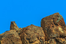 Rock Hyraxs On The Rocks In Nature Habitat, South Africa. The Cape's Irace, Procavia Capensis, Also Called Procavia Of The Rocks Or Dassies In African On Blue Sky. Copy Space.