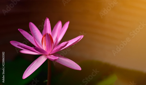 Beautiful Pink Lotus Flower Or Water Lily In A Pond With Green