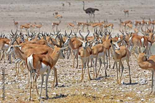 Keuken foto achterwand Antilope Springböcke (antidorcas marsupialis) am Wasserloch Nebrowni im Etosha Nationalpark in Namibia