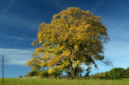 Photo Berg-Ahorn (Acer pseudoplatanus) im Herbst