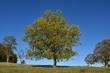 canvas print picture - Gemeine Esche (Fraxinus excelsior) im Herbst