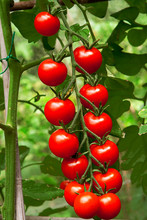 Vine Tomatoes Growing On The Plant