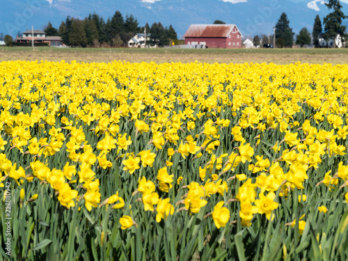 Blooming daffodil fields in Skagit valley - Washington state, USA