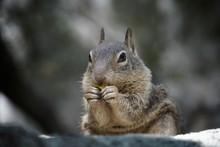 Eichhörnchen - Isst Und Knabbert | USA