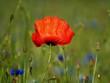 czerwony mak wśród polnych kwiatów