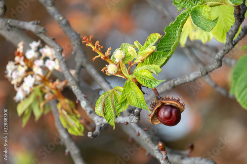 Photo Glossy brown conker and  inflorescence of horse-chestnut