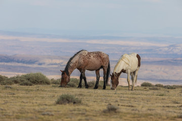 Fototapeta Wild Horses in the Colorado High Desert in Summer