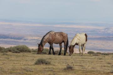 Fototapeta Wild Horses in the Colorado High Desert in Summer