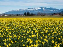 Blooming Daffodil Fields In Sk...