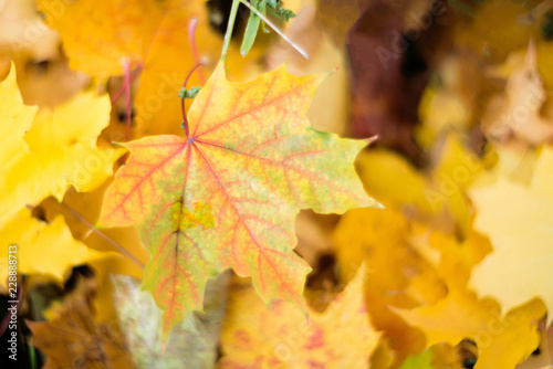 Maples autumn golden fall background