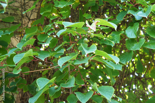 Actinidia arguta creeping plant Wallpaper Mural