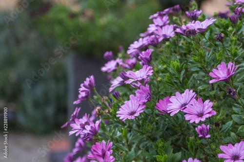 Fotografie, Obraz  Lila Blume im Herbst