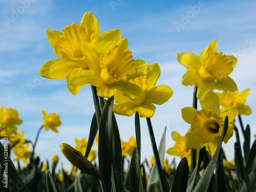 Deurstickers Narcis Yellow daffodils growing on a field against blue sky in Skagit Valley, Washington state, USA