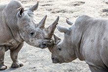 Beautiful Image Of Two Rhinos In Friendly Shape