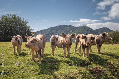 Tablou Canvas Group of beautiful family of pigs searching and asking for food looking at camer