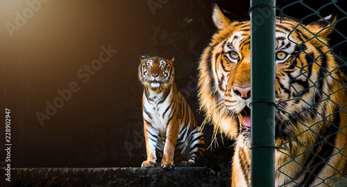 Foto auf AluDibond Tiger yellow tiger, the king of hunter animal