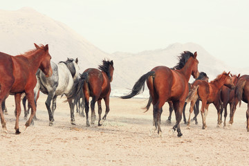 a plain with beautiful horses in sunny summer day in Turkey. Herd of thoroughbred horses. Horse herd run fast in desert dust against dramatic sunset sky. wild horses