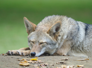 Closeup of an Adult Coyote Taking a Nap