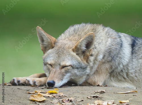 Photo Closeup of an Adult Coyote Taking a Nap