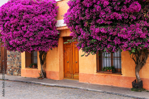 Cuadros en Lienzo Bougainvillea trees growing by the house in historic quarter of Colonia del Sacr