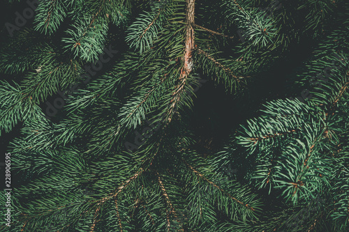 Fototapeta Green branches of fir or pine tree. Christmas background.
