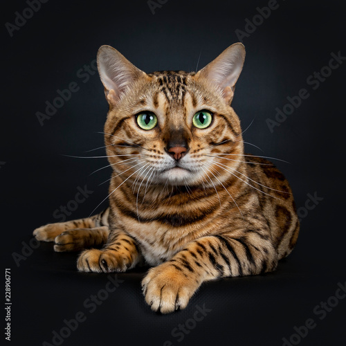 Valokuva  Handsome shiny male Bengal cat laying down front view looking beside camera with
