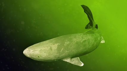 Fototapeta Greenland shark swimming, Somniosus microcephalus, shark with the longest known lifespan of all vertebrate species