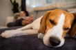 Beagle dog tired sleeps on a couch