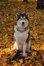 Dog Breed Alaskan Malamute Sim...