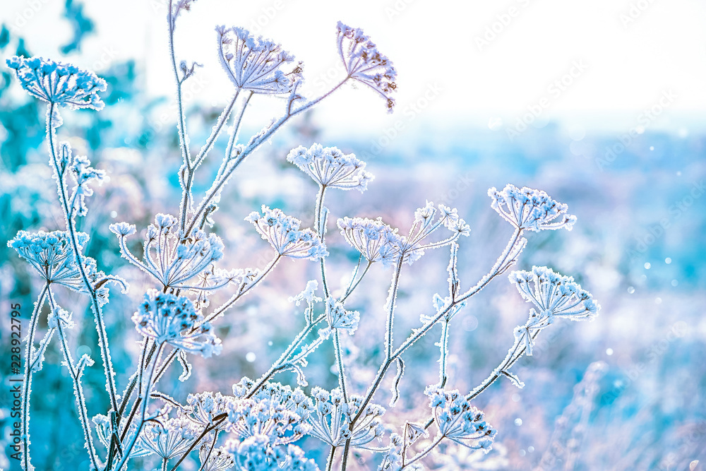 Fototapety, obrazy: the grass is frozen in frost. beautiful winter landscape. clear frosty weather of winter.  soft selective focus