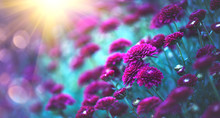 Chrysanthemum Flowers Blooming In A Garden. Beauty Autumn Flowers. Bright Vivid Colors