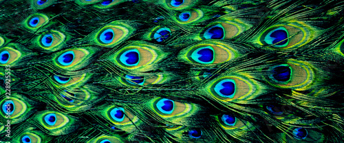 Poster Paon beautiful natural bright background (texture), peacock feathers, panorama