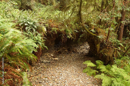 Western Sword ferns in the undergrowth of redwood forest