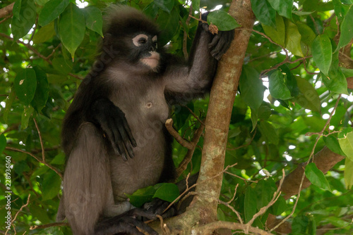 Foto op Aluminium Aap Male dusky leaf monkey sitting on a tree branch in the rainforest of Malaysia. Selective focus