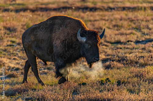 Photo  A Bison Roaming the Plains and Showing Breath on a Frigid Cold Day