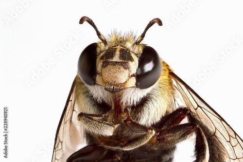 Super macro head shot of bee on white background