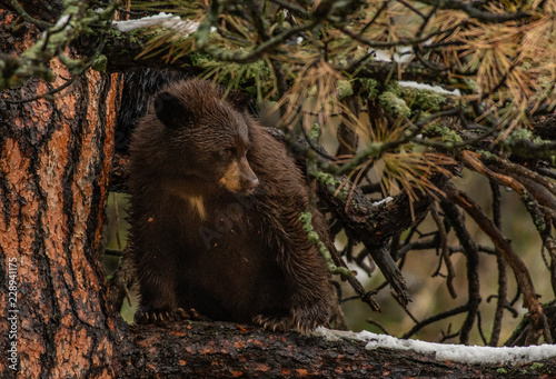 A Brown Black Bear Cub in a Pine Tree Wallpaper Mural