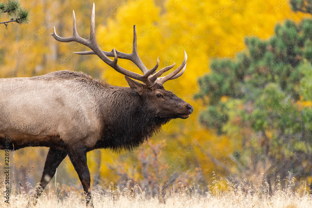 Fototapety, obrazy: A Large Bull Elk with Beautiful Fall Colors in the Background