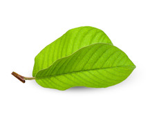 Guava Leaf Isolated On White Clipping Path