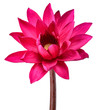 Leinwandbild Motiv Red Lotus flower isolated on white clipping path