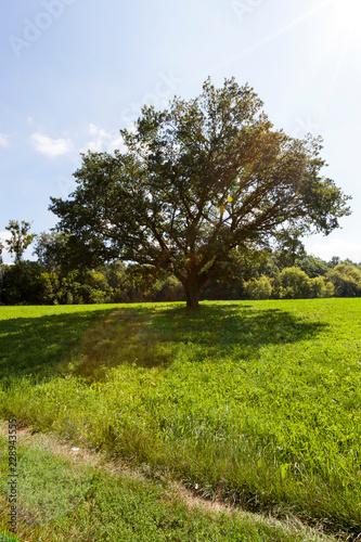 Photo  oak tree