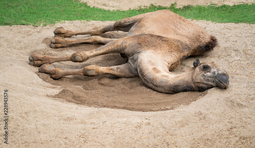 dromedary camel lying on sand