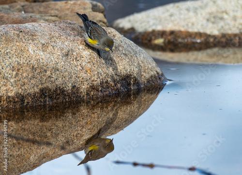 Fotografia  Yellow-rumped Warbler Fledgling Self Admiration