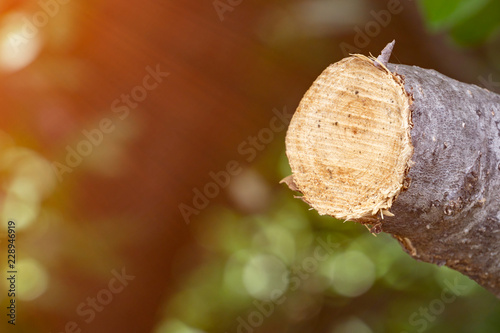 Fotografie, Obraz  Destroy jungle, Logs extracted from a sustainable forest under sunshine