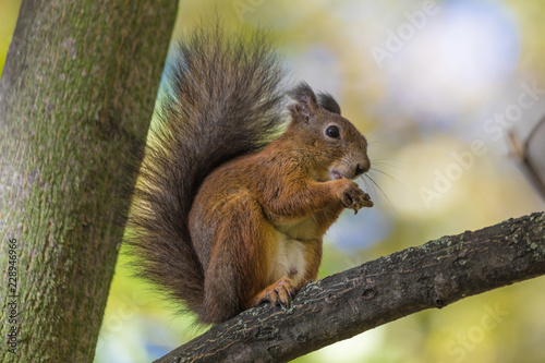 The squirrel sitting in the branch of a tree in the park on the warm and sunny autumn day. The squirrel is eating a nut holding it between his paws on the background of green leaves