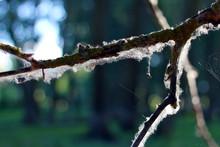 Bare Branch Of Poplar Tree In ...